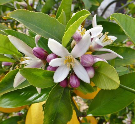 lemon-blossom-open