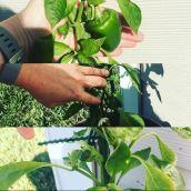 Bell Pepper Plants 3