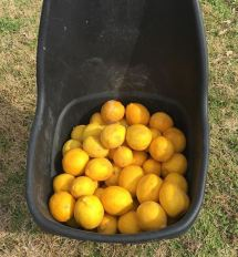 Bucket of Meyer Lemons