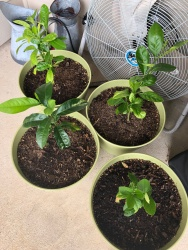 Lemon Trees 1